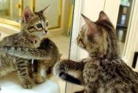 gato mirando espejo